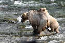 Grizzly Mother and Cub Fishing for Salmon at Brooks Falls, Alaska