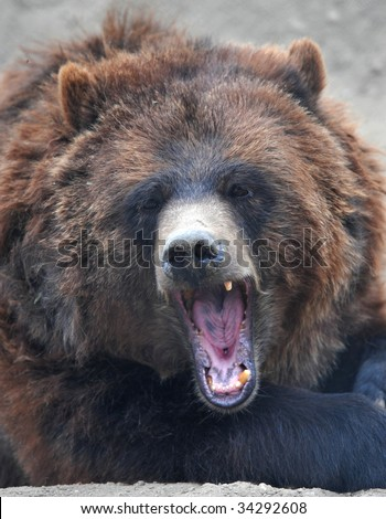 grizzly or brown bear female adult snarling showing teeth, california, united states