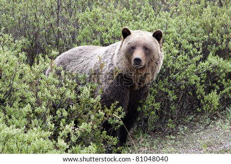 Grizzly (Ursus arctos horribilis)  in Banff National Park. Canada