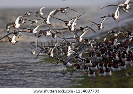groep scholeksters vliegt op; flock of oystercatchers Stockfoto ©