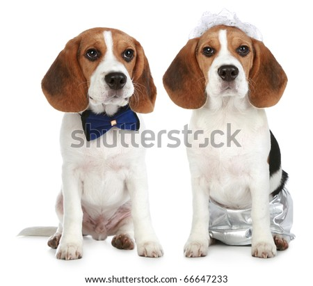 Groom and bride (beagle dogs on white background)