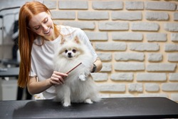 groomer combing wool of spitz in salon, grooming master cuts and shaves, cares for a dog in professional salon for pets