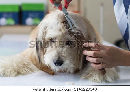 Groomer grooming dog with scissor in salon. #1146229340