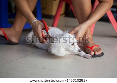 grooming a dog, grooming a white poodle's head