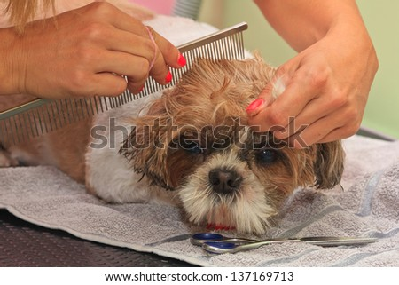 Grooming a small purebred Lhasa Apso dog in a hair saloon.