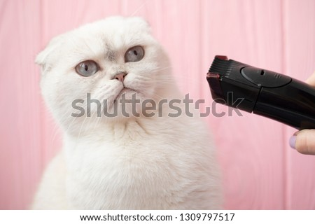 Grooming animals, grooming, drying and styling cats, combing wool. Grooming master cuts and shaves, cares for a cat. Beautiful Scottish cat