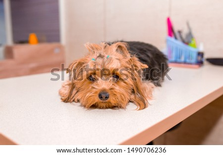Grooming animals, grooming, drying and styling dogs, combing wool. Grooming master cuts and shaves, cares for a dog. Beautiful Yorkshire Terrier. Beautifully combed dog.