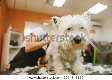 Grooming dog of West Highland White Terrier #1024845952