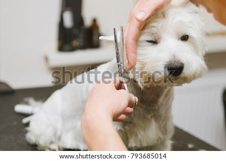 Grooming dog of West Highland White Terrier