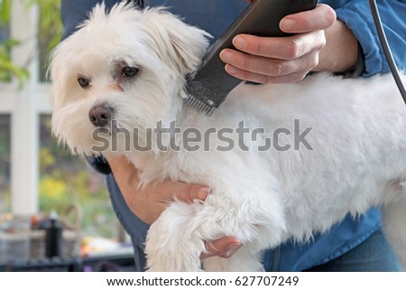 Grooming the neck of adorable white dog. All potential trademarks are removed. #627707249