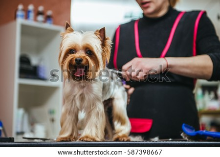 Grooming Yorkshire Terrier professional hairdresser. Hairdresser mows Yorkshire Terrier fur on the ear with a trimmer #587398667