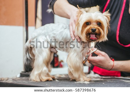 Grooming Yorkshire Terrier professional hairdresser. Hairdresser mows Yorkshire Terrier fur on the ear with a trimmer #587398676