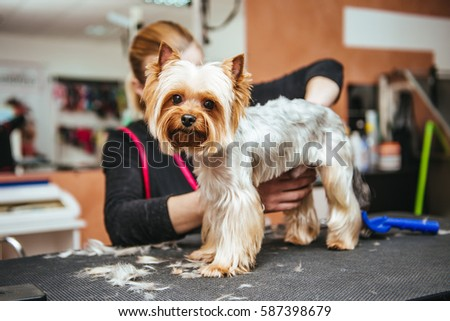Grooming Yorkshire Terrier professional hairdresser. Hairdresser mows Yorkshire Terrier fur on the ear with a trimmer #587398679