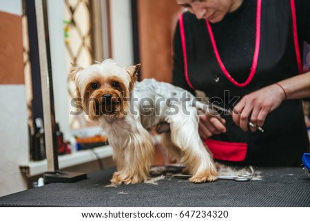 Grooming Yorkshire Terrier professional hairdresser. Hairdresser mows Yorkshire Terrier fur on the ear with a trimmer #647234320