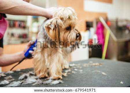 Grooming Yorkshire Terrier professional hairdresser. Hairdresser mows Yorkshire Terrier fur on the ear with a trimmer #679541971