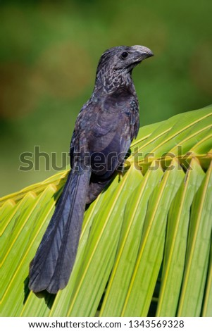 Groove-billed Ani - Crotophaga sulcirostris tropical bird in the cuckoo family, long tail and a large, curved beak. Resident species from Texas, Mexico to Colombia and Venezuela, Ecuador, Peru.