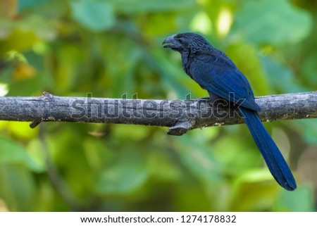 Groove billed ani sitting in a tree in Costa Rica
