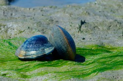 Grooved carpet shell, or Palourde clam, latin name : Ruditapes decussatus. Tasty edible clam laid on sand and green algae. famous and common bivalve mollusc in europe. sea food clam on natural habitat