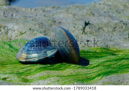 Grooved carpet shell, or Palourde clam, latin name : Ruditapes decussatus. Tasty edible clam laid on sand and green algae. famous and common bivalve mollusc in europe. sea food clam on natural habitat Stock foto ©