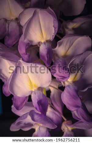 gros plan sur grappe de fleurs de glycine sur fond noir Photo stock ©
