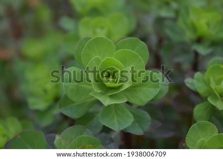 Gros plan sur une fleur verte  d'euphorbe réveille-matin dite euphorbe hélioscope sur arrière-plan flouté Photo stock ©
