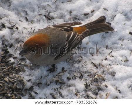 grosbeak in the snow #783552676