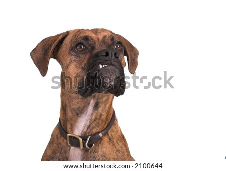 grouchy boxer dog isolated over white - stock photo