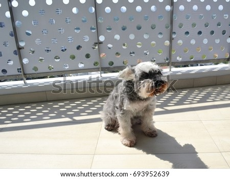 Grouchy miniature schnauzer dog enjoying her suntan in hot sunny summer weather at the balcony with shadow  #693952639
