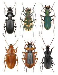 Ground and tiger beetles collection