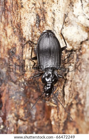 Ground beetle (Agonum)