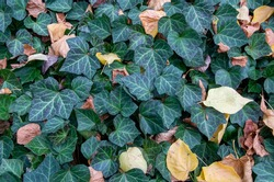Ground-covering green ivy with autumn leaves. High quality photo
