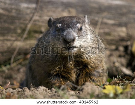 Ground hog peeking out of his burrow looking  for his shadow