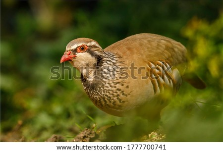 Ground level image of a brightly coloured Red Legged Partridge bird. Found in the countryside on farmland. A small plump stocky bird with a short stumpy beak. Foto stock ©