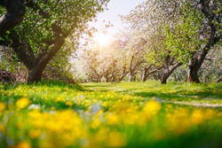 Ground level view of a lush dandelion in an apple orchard in sunny weather. Fresh seasonal background. Selective focus, blurred foreground. Flowering garden in spring time. Beauty of earth, Ukraine.