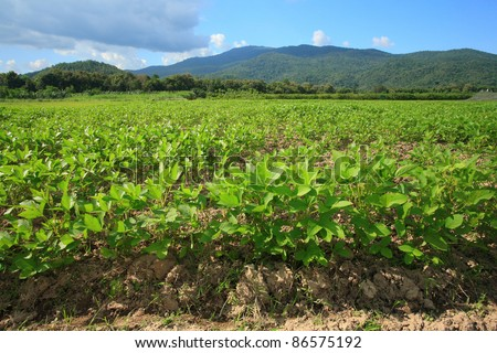ground nut in farm with nice hill and blue sky background.