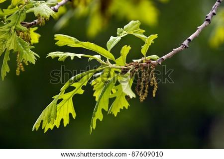 Ground oak leaves and oak blossom