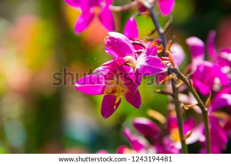 Ground orchid,Ground orchid and blurred background,Spathoglottis Blume,Spathoglottis blume in the garden.