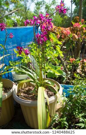 Ground orchid ,Ground orchid in a pot,Ground orchid and blurred background,Spathoglottis Blume,Spathoglottis blume in the garden,