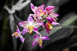 Ground orchids hybrids