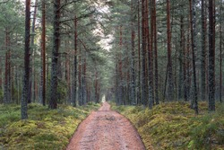 Ground path running to the horizon through dark pine park forest. Different shades of green and orange, vertical parallel trunks of trees, sandy ground road. Autumn in coastal woods. Estonia, Europe.