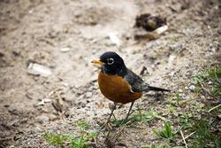 ground , robin , bird wild animals