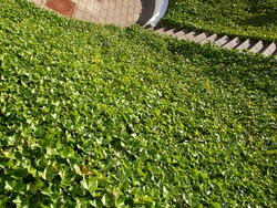 Ground small hill covered completely with lush green ivy