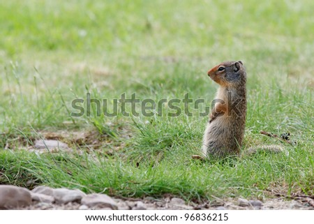 Ground squirrel carefully watching surroundings
