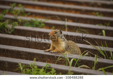 Ground Squirrel emerging from cattle guard - stock photo