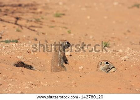 ground squirrel wild animals african mammal savannah plains and deserts africa kalahari desert kgalagadi national park south africa botswana nature parks and nature reserves