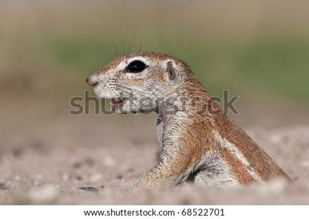 Ground squirrel (Xerus inaurus), Kalahari desert, Botswana