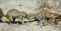 ground squirrels in Etosha, Namibie