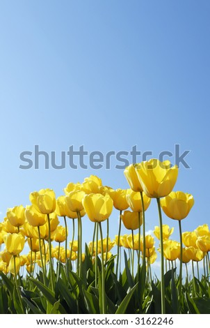 Ground view of yellow tulips against blue sky - stock photo