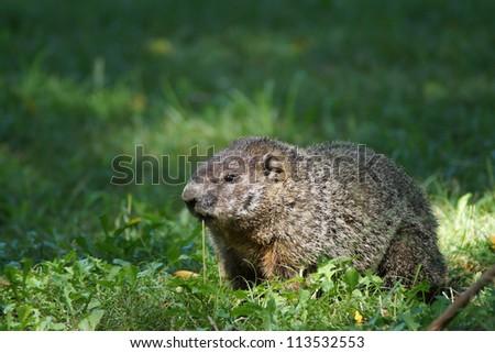 Groundhog feeding on weed in field