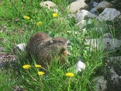 Groundhog in garden eating dandelions